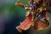 odontoglossum 9394 (DannyBurkPhotography) Tags: odontoglossum orchid flower bokeh soft focus zeiss 100mm makro makroplanar1002ze