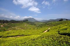India - Kerala - Munnar - Tea Plantagen - 219 (asienman) Tags: india kerala munnar teaplantagen asienmanphotography