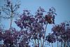 2017 University of Sydney Jacaranda Trees #5 (dominotic) Tags: 2017 flowers jacarandatree purple inthesky bluesky universityofsydneyjacarandatrees sydney australia