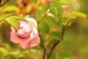 The autumn rose (irio.jyske) Tags: naturephotograph naturepic naturepictures naturephoto nature flower rose garden yard park colors red green lilac bokeh autumn winter beauty canonphoto canonlens canoncamera canon canonpic canonphotograph