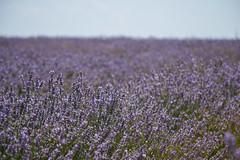 Mar violeta. Violet Sea (maricarmencorreas) Tags: cielo lavanda campo macro flor