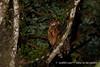 黃魚鴞 IMG_2621 (sullivan™) Tags: canoneos7dmarkii ef400mmf56lusm adobephotoshoplightroom5 animal bokeh dof newtaipeicity nature suhaocheng taiwan ketupaflavipes 浩子 新北市 野生鳥類 二次構圖 裁切 格放 第二級珍貴稀有保育類 sullivan 黃魚鴞 黃腿漁鴞 魚木兔 毛腳魚鴞 第二級保育類 稀有留鳥 貓頭鷹 tawnyfishowl 魚堀溪 烏來 新店 坪林 石碇 福山 翡翠水庫 南勢溪 北勢溪 桶後溪 大羅蘭溪 平廣溪 金瓜寮溪 姑婆寮溪 魚逮魚堀溪 逮魚堀溪