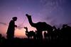 Camel fair (Jhaví) Tags: pushkar rajasthan india camel camello camelfair sunset atardecer silhouettes siluetas cielo sky contraluz animal campo