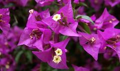 Bougainvillea spectabilis (tgrauros) Tags: buguenvíl·lea nyctaginaceae bougainvillea bougainvilleaspectabilis flores fleurs buganvilia bugainbilea