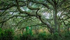 Tree Spirit (JDS Fine Art Photography) Tags: nature beauty naturesbeauty spirit spiritual treespirit naturalbeauty inspirational green woods