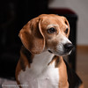 Febee (Guillaume7762) Tags: beagle chien dog tricolore portait animalier hund chasse regard