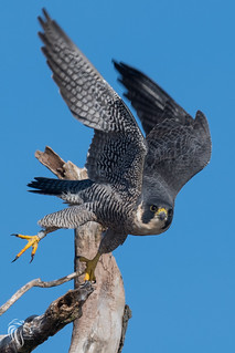 Peregrine Falcons of Alpine | 2107 - 22