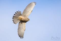 Kestrel - female (Falco tinnunculus) (benstaceyphotography) Tags: birdofprey aves birdinflight bif falcon wildlife kestrel raptor bird feathers nature hunter hunting flight flying