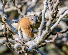 Eastern Bluebird Posing (backyardzoo) Tags: blue