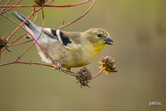 American Goldfinch (jt893x) Tags: 150600mm americangoldfinch bird d500 finch goldfinch jt893x nikon nikond500 sigma sigma150600mmf563dgoshsms spinustristis specanimal