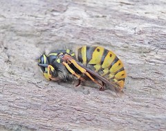 "Queen Vespula vulgaris • <a style=""font-size:0.8em;"" href=""http://www.flickr.com/photos/108825294@N02/38514500691/"" target=""_blank"">View on Flickr</a>"