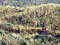 A little piece of art (Jaedde & Sis) Tags: rødglente redkite milvusmilvus flight thirds dunes grass texture camouflage closer hdr challengefactorywinner thechallengefactory