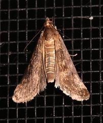 Cotton Web Spinner, Achyra affinitalis