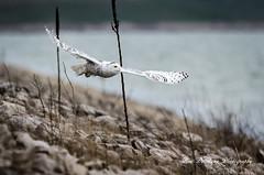 Snowy Owl (Ron DeHaan) Tags: 2017 fall muskegonwastewater snowyowl