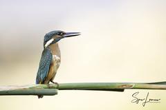 Ijsvogel-22632 (Sjors loomans) Tags: ijsvogel kingfisher martinpêcheur deurope alcedo atthis eisvogel holland natuur birds bird sjors loomans outdoor natuurfotografie nature