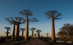 Sunset on Baobabs  (explore) (Rod Waddington) Tags: africa afrique madagascar malagasy sunset baobabs alle des landscape nature trees