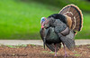 Happy thanksgiving - IMG_6262-1.1 (arvind agrawal) Tags: wildturkey turkey happythanksgiving thanksgiving coyotehill arvindagrawal canon1dx canon600