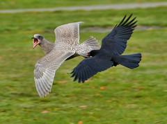 Vancouver 20Nov17.01 (Pervez 183A) Tags: combat crow gull vancouver bc canada