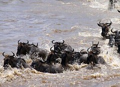 Wild for wildebeest 🐾 (Adventurers Anonymous) Tags: stampede rivercrossing marariver incredible safari africa silverbacked wildebeest wild greatmigration