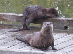 Otters hanging out (jamica1) Tags: otter shuswap lake salmon arm bc british columbia canada lontra canadensis