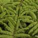 Tree fern, Braulio Carrillo national park