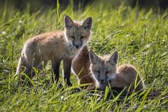 Red Fox - Pups (Turk Images) Tags: aspenparkland foxden northernplainsredfox vulpesfulva alberta canidae mammals redwater spring