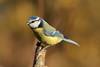Blue tit (david.england18) Tags: bluetit smallbirds various tits blue coal great songbirdsofeurope localpark canon7dmkll birdsuk canonef300mmf4lisusm