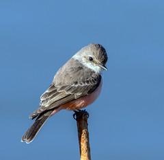 Vermillion Flycatcher (Ed Sivon) Tags: america canon nature lasvegas wildlife wild western southwest desert clarkcounty clark vegas bird henderson nevada nevadadesert preserve
