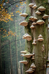 When the trees die, the fungus seems to fly (Rob Schop) Tags: forrest zoom herfst autumm boom tree tonderzwam drenthe sonya6000 boomkroonpad nederland outdoor a6000 bos sony55210oss zwammen