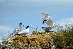 White Fronted Terns (bevanwalker) Tags: mating coastline fish young food plants d750 nikon peninsula coromandel newzealand family tern