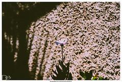 Altea (dirkbreisch) Tags: altea spain einfachnurgut sonya7ii flowers soummer sonne alteacity sonyazm2 dirkbreischphotography sommer mediteran 135mm spanien blumen