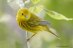 A Yellow Warbler strikes a pose (danielusescanon) Tags: wild yellowwarbler setophagapetechia passeriformes parulidae birdperfect mageemarsh ohio migration animal