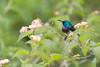 Souimanga Sunbird - Cinnyris sovimanga (Naturals_Pictures) Tags: souimangasunbird cinnyrissovimanga madagascar birds faune science ngc nature naturalspictures wildlife vincentromera oiseaux