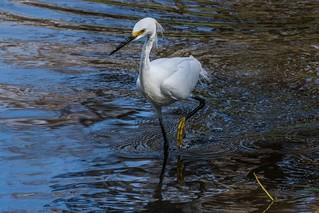 IMG_4981 snowy egret