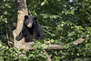 Black Bear (james white Photo) Tags: bear blackbear minnesota vinceshutewildlifesanctuary usa animal wildlife nature tree ursusamericanus