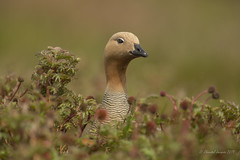 Up to its neck in Acaena Magellanica?- Ruddy-headed Goose (Chantal Jacques Photography) Tags: ruddyheadedgoose uptoitsneck acaenamagellanica bokeh depthoffield wildandfree falklandislands