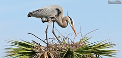 Branch manager (Shannon Rose O'Shea) Tags: shannonroseoshea shannonosheawildlifephotography shannonoshea shannon greatblueheron heron bird beak feathers wings nest palmtree bluesky branches twigs nature wildlife waterfowl art photo photography camera wild wildlifephotography outdoors outdoor colorful ritchgrissommemorialwetlandsatviera melbourne florida wwwflickrcomphotosshannonroseoshea flickr ardeaherodias canon canoneos80d canon80d eos80d 80d canon100400mm14556lisiiusm skinnylegs
