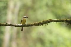 Golden-crowned Flycatcher (kidbirder) Tags: