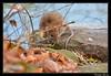Rat brun (Rattus norvegicus) (cquintin) Tags: chordata vertebrata mammalia rodentia muridae rattus norvegicus rat