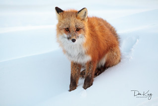 A Cold and Lonely Fox