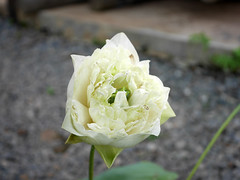 Sacred Lotus 'White Peony'  บัวหลวง 'ไวท์ พีโอนี่' 5 (Klong15 Waterlily) Tags: ไวท์พีโอนี่ whitepeony sacredlotus lotus nelumbo nelumbonucifera บัวหลวง บัวหลวงขนาดเล็ก บัวหลวงสีขาว