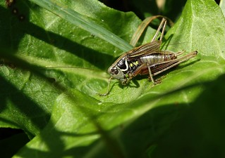 Roesel's bush-cricket (m)