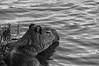 Capivara (Hydrochoerus hydrochoeris) (Luiz Henrique Foto) Tags: luizhenriquephoto ©luizhenriquerocharodrigues todososdireitosreservados estadodesãopaulo lago bragançapaulistasp animal luizhenriquefotografia luizhenriquefoto água ©lalabradshaw lagodotaboão roedor wwwluizhenriquefotocombr horizontal fauna desenhandoaluz capivara mamífero agua allrightsreserved animalia bragança bragançapaulista capybara caviidae chordata hydrochoerinae hydrochoerus hydrochoerushydrochaeris hystricomorpha lake mammal mammalia rodent rodentia sp sãopaulo water brasil br grama verde flora vegetal