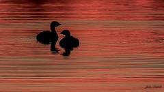 Interlocking Pied-billed Grebe at sunrise (flintframer) Tags: piedbilled grebe ducks birds daybreak sunrise indiana muscatatuck nwr nature wildlife wow dattilo america canon eos 7d markii ef600mm water reflection ripples