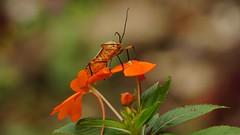 Orange insect (Gail Casteel) Tags: nature centralamerica insect orange shieldbug panacam honduras