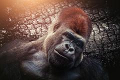 Now what? (Chrisnaton) Tags: gorilla animal portrait treebark sun desperate sadness