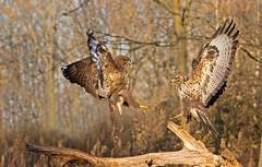 Common Buzzard: Buteo buteo (renzodionigi) Tags: mäusebussard busardoratonero busevariable poiana accipitriformes accipitridae raptors rapaci