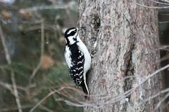 Hairy Woodpecker (Picoides villosus)(Female) (Gerald (Wayne) Prout) Tags: hairywoodpecker picoidesvillosus animalia chordata aves piciformes picidae picoides villosus herseylakeconservationarea cityoftimmins northeastern northernontario ontario canada prout geraldwayneprout canon digital camera photographed photography hairy woodpecker birds wildlife nature animals herseylake hersey lake timmins northern canoneos60d