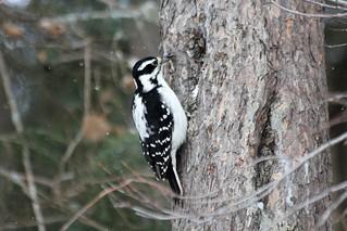 Hairy Woodpecker (Picoides villosus)(Female)