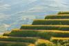 _29A0308.0917.Lao Chải.Sapa.Lào Cai (hoanglongphoto) Tags: asia asian vietnam landscape scenery vietnamlandscape vietnamscenery vietnamscene terraces terracedfields harvest hill hliiside people canon canoneos1dsmarkiii canonef100400mmf4556lisiiusm tâybắc làocai sapa laochải phongcảnh ruộngbậcthang lúachín mùagặt sapamùagặt sapamùalúachín người sunny sunlight nắng morning sunnymorning buổisáng nắngsớm hillside sườnđồi